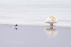 Mute Swan 11