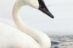 Trumpeter Swan 1