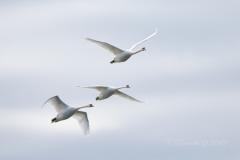Mute Swan 15