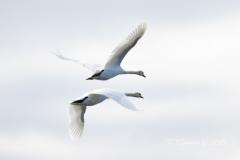 Mute Swan 20