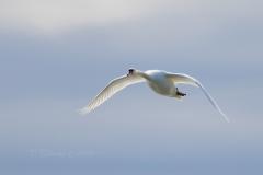 Mute Swan 26