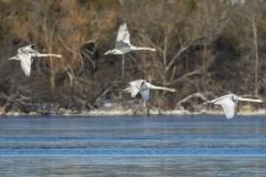 Mute Swan 28