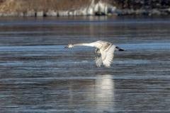 Mute Swan 27
