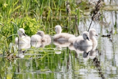 Mute Swan Cignets 7