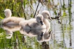 Mute Swan Cignets 5