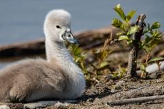 Mute Swan Cignets 4