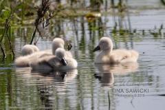 Mute Swan Cignets 2