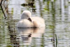 Mute Swan Cignets 8