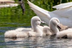 Mute Swan Cignets 12