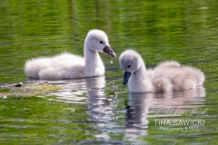 Mute Swan Cignets 9