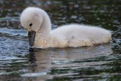Mute Swan Cignets 11