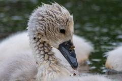 Mute Swan Cignets 13