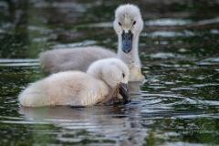 Mute Swan Cignets 14