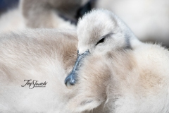Mute Swan Cignets 22
