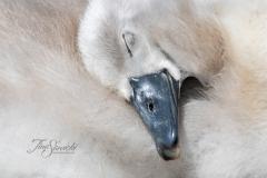 Mute Swan Cignets 19