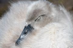 Mute Swan Cignets 21