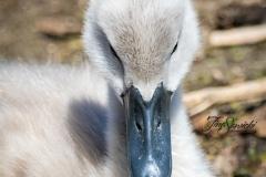 Mute Swan Cignets 20
