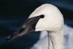 Trumpeter Swan 6