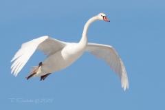 Mute Swan 12