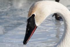 Trumpeter Swan 7