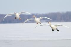 Mute Swan 14