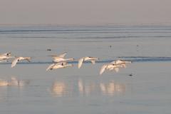 Mute Swan 17