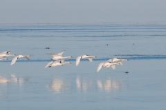 Mute Swan 23
