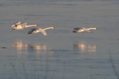 Mute Swan 25
