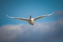 Mute Swan 29