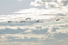 Mute Swan 24