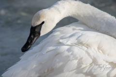 Trumpeter Swan 4
