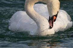 Mute Swan 30