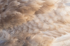 Swan Feathers 2