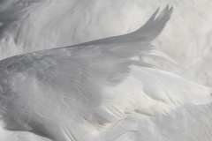 Swan Feathers 3