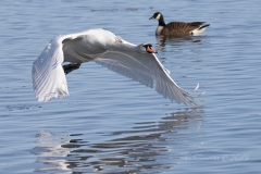 Mute Swan 31