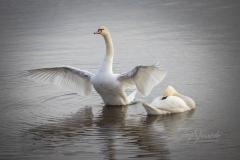 Mute Swan 32