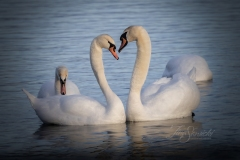 Mute Swan 33