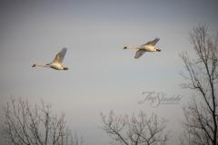 Mute Swan 21