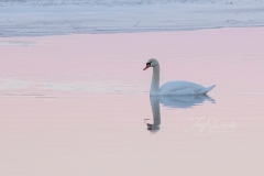 Mute Swan 10