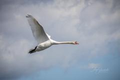 Mute Swan 22