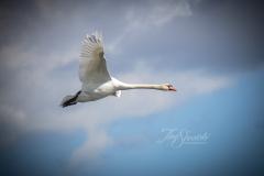 Mute Swan 19