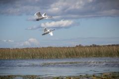 Mute Swan 6