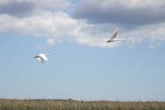 Mute Swan 18