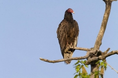 Turkey Vulture 10