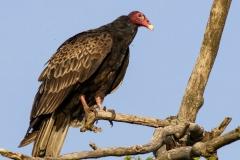 Turkey Vulture 12