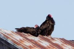 Turkey Vulture 13