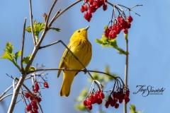 Yellow Warbler 14