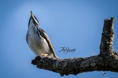 Blackpoll Warbler 1