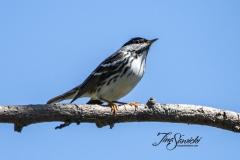 Blackpoll Warbler 5