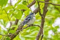 Cerulean Warbler 1